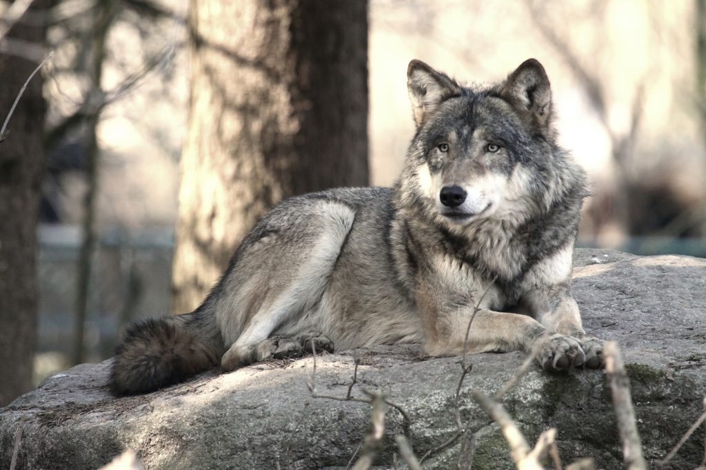 Wolf Hybrid and other exotic animals can be dangerous